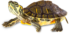 tortue.png