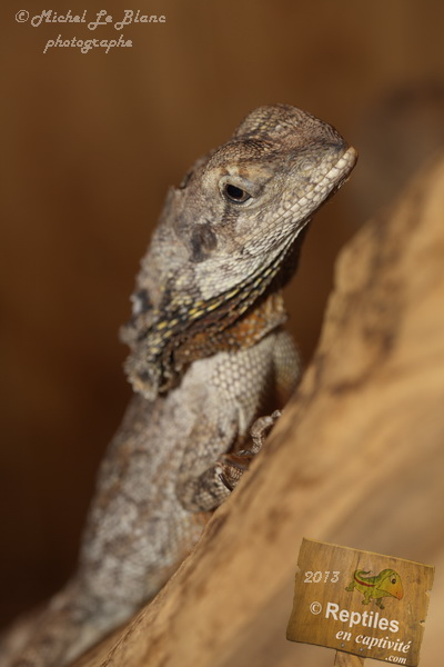 Frilled Dragon