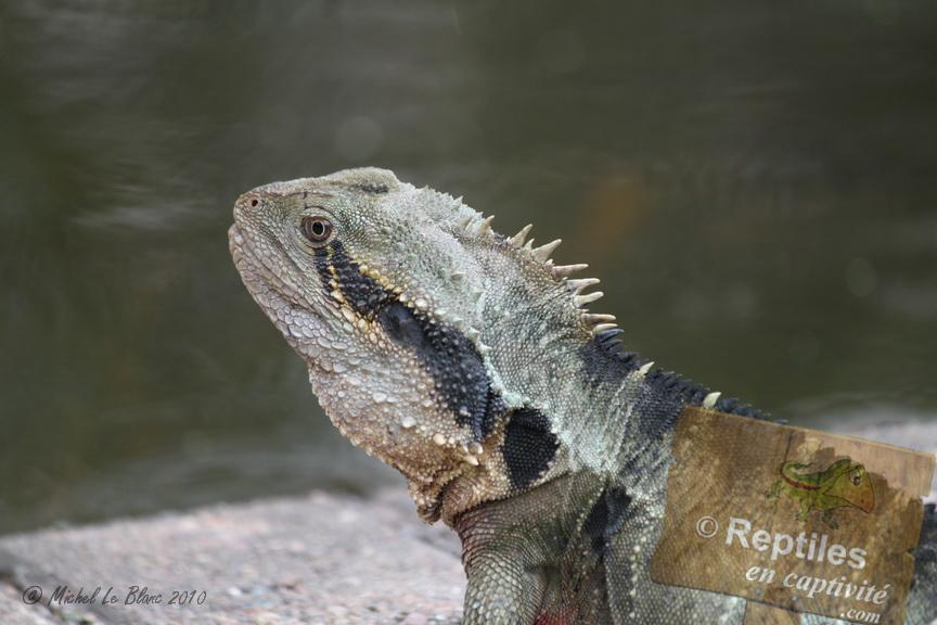 fiche d'elevage dragon d'eau