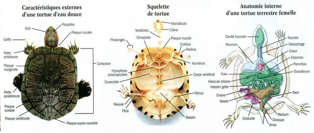 Reptiles en captivit s tortue tempes rouges - Comment deboucher une oreille bouchee par l eau ...